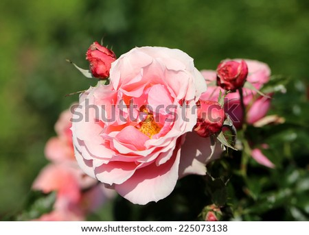 photo bright pink rose illuminated by the sun in the garden