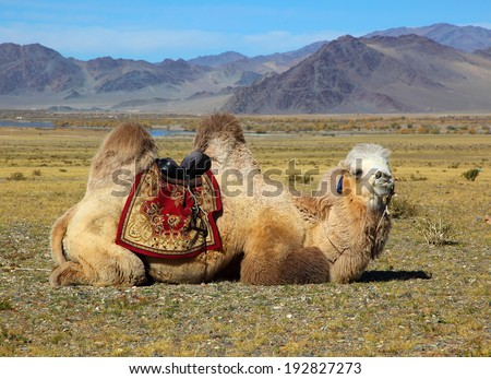Photo camels against mountain. Altay mountains. Mongolia