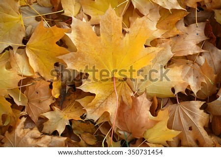 Photo closeup of autumn colorful yellow golden thick blanket of fallen dry maple leaves on ground deciduous abscission period over forest leaf litter background, horizontal picture