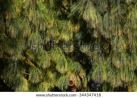 Photo closeup of beautiful evergreen thick thorny green needles on downy fir tree pine twigs with cones deal apples over coniferous background, horizontal picture  - stock photo
