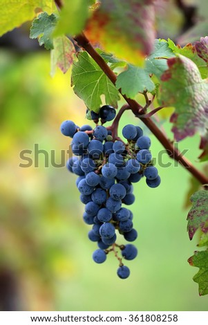 Photo closeup of beautiful heavy ripen bunch of velvety black grapes sweet juicy fruit hanging on grapevine green and red leaves vine on blurred background, vertical picture - stock photo