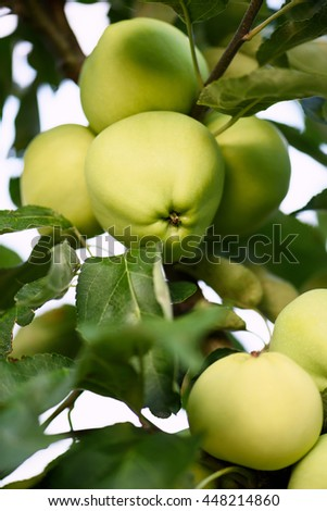 Photo closeup of green ripe apples on a branch in an orchard - stock photo