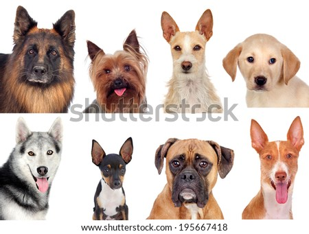 Photo collage of different breeds of dogs isolated on a white background - stock photo