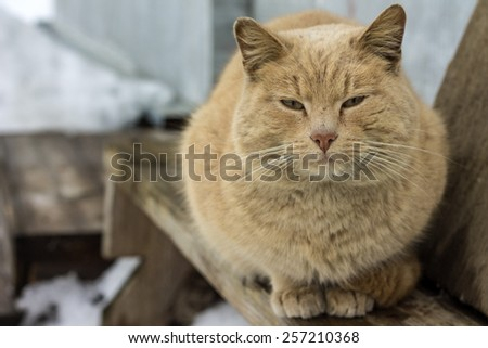 Photo concept of cat's mating season - dirty red tomcat - stock photo