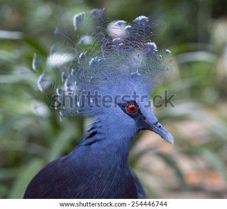Photo crested pigeon in the park birds in Kuala Lumpur, Malaysia - stock photo