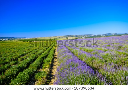 Photo is divided in half a field of lavender