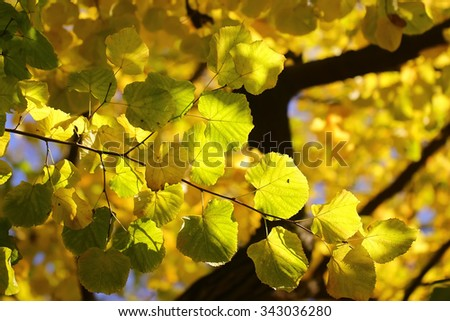 Photo low angle view closeup of beautiful sun-illuminated autumn green yellow heavy foliage on branches of golden-leaved trees over blurred bright blue sky background, horizontal picture - stock photo
