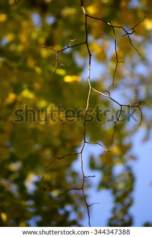 Photo low angle view of top dead naked branch stripped of leaves of deciduous tree over autumn green yellow heavy foliage on blurred bright blue sky background, vertical picture - stock photo