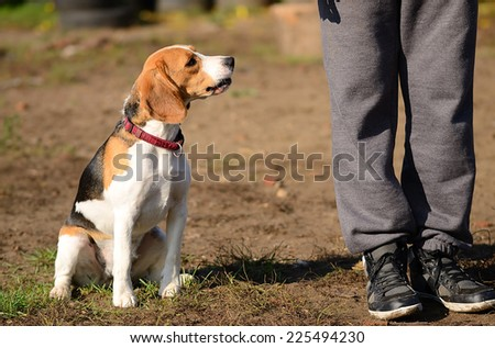 Photo of a Beagle dog in the park