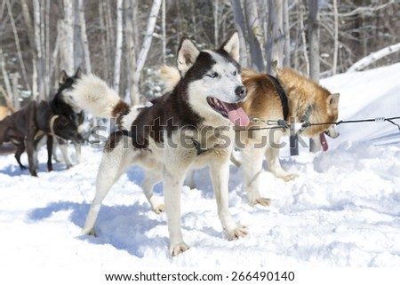 Photo of a beautiful black and white husky with blue eyes standing in the snow in winter with a big blue sky and bright sunshine. Shallow depth of field and blurred background