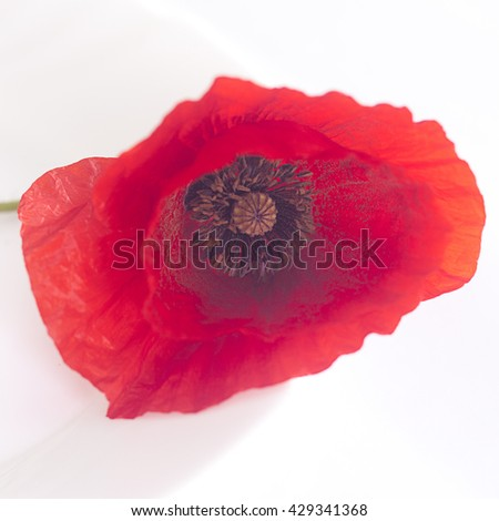 Photo of a beautiful red poppy in natural light