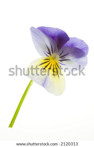 Photo of a blue pansy isolated on a white background.