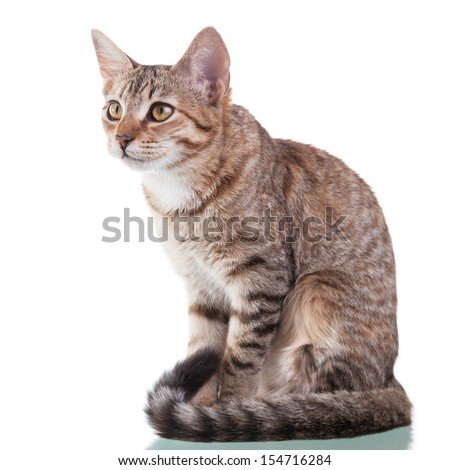 Photo of a brown striped kitten sitting down, isolated on white background. Studio shot. - stock photo