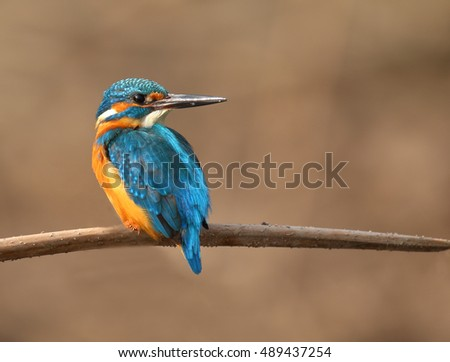 Photo of a common Kingfisher Alcedo atthis