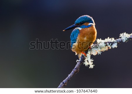 Photo of a Common Kingfisher (Alcedo atthis) adult male perched on a lichen covered branch - stock photo