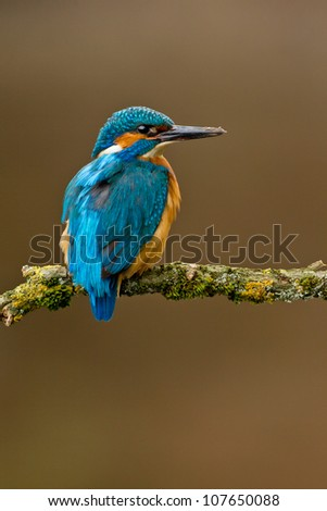Photo of a common Kingfisher Alcedo atthis adult male perched on a moss covered branch - stock photo