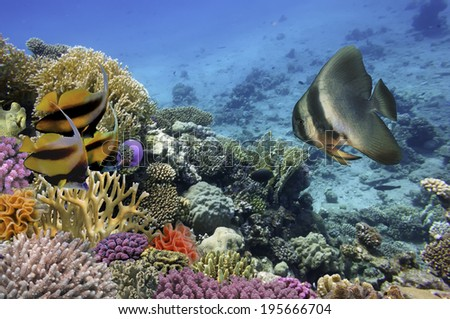 Photo of a coral colony on a reef, Red Sea, Egypt. - stock photo