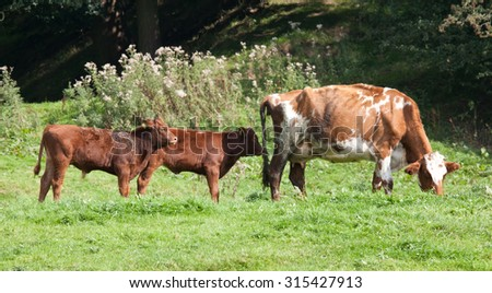 Photo of a cow and her calves