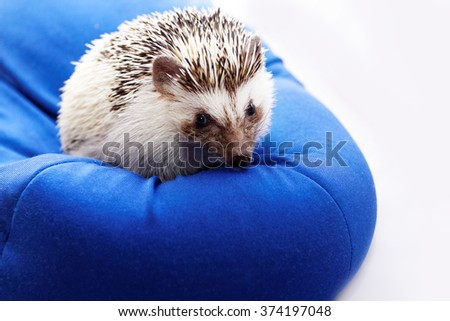 Photo of a cute hedgehog on a blue beanbag - stock photo