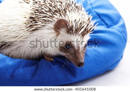 Photo of a cute hedgehog on a blue beanbag