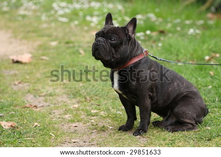 photo of a french bulldog