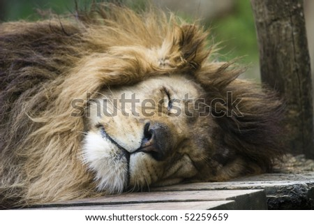 Photo of a great lion resting in the park