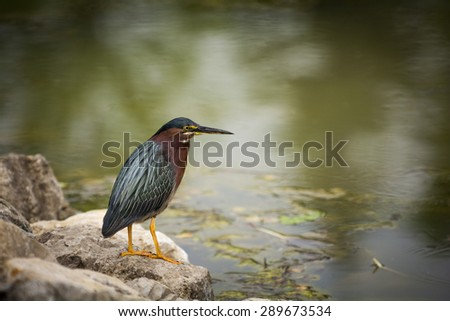 Photo of a Green Heron hunting for a fish at the edge of a pond. - stock photo