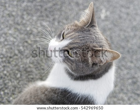 photo of a grey cat outside