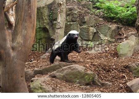 Photo of a Honey Badger (Ratel) - stock photo