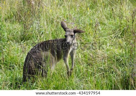 Photo of a kangaroo in tallgrass - stock photo