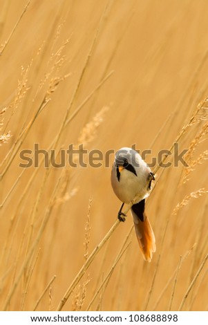 Photo of a male Bearded Reedling (Panurus biarmicus) also know as a Bearded Tit perched on a reed stem in a reed bed. Copy space. - stock photo