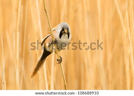 Photo of a male Bearded Reedling (Panurus biarmicus) also know as a Bearded Tit perched on a reed stem in a reed bed with insects in its beak. - stock photo