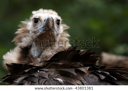 photo of a monk vulture