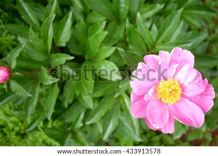 Photo of a pink peony flower with green leaves background. Tender pink peony in a garden. Blooming peony flower top view. Pink flower and green leaves background. - stock photo