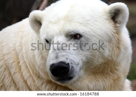 photo of a Polar bear - stock photo