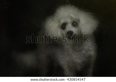 Photo of a Poodle behind a dirty window.