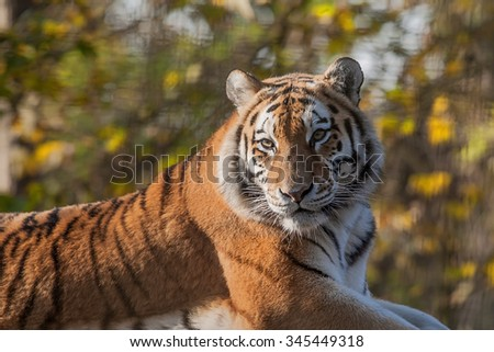 photo of a resting Indian tiger