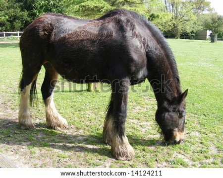 Photo of a Shire horse grazing