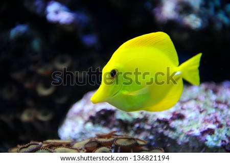 Photo of a tropical yellow tang on a coral reef - stock photo