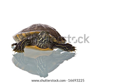 Photo of a turtle with reflection isolated on white background. Studio shot. - stock photo