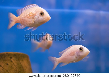 Photo of aquarium fish aulonocara in freshwater