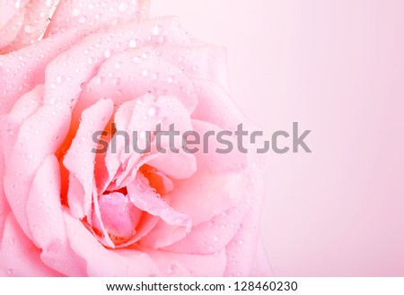 Photo of beautiful pink rose background, abstract floral border, wedding greeting card, celebrate holiday, spring nature, dew drops on petals of flower, romantic gift, mothers day, romance concept - stock photo