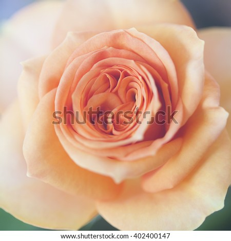 Photo of beautiful roses in natural light closeup