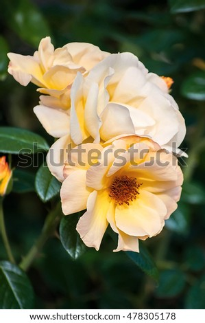 Photo of beautiful yellow rose in a garden