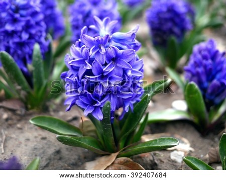 Photo of bright blue hyacinth (Hyacinthus) flowers in full bloom. Spring flowers in the garden. Vivid blue hyacinth flowers with green leaves. - stock photo