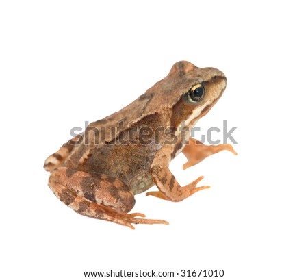 photo of brown frog isolated on white background - stock photo