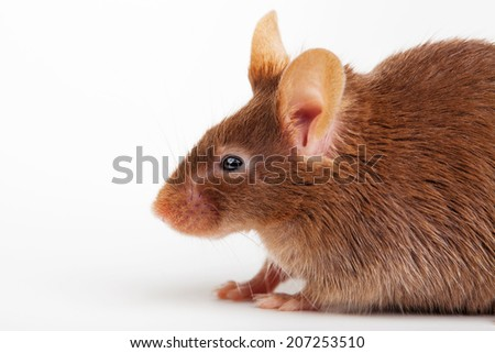 Photo of brown mouse. Close up studio photo. - stock photo