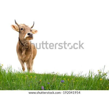 Photo of cow on a grass field isolated - stock photo