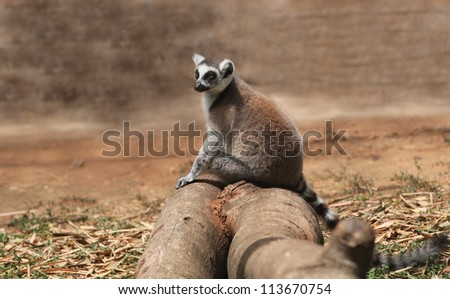 Photo of cute common brown lemur (Eulemur fulvus), or brown lemur sitting on a wooden log in the wild. Scientifically, they are known as Eulemur and are of african(Madagascar) origin. - stock photo