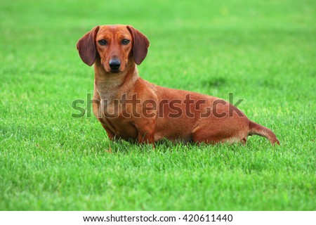 Photo of cute dachshund breed dog sitting on soft green grass background. Short-legged, long-bodied, hound-type dog breed. Face animal portrait. Photo of dachshund dog. Sweet home pet